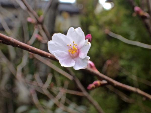 桜の花一輪