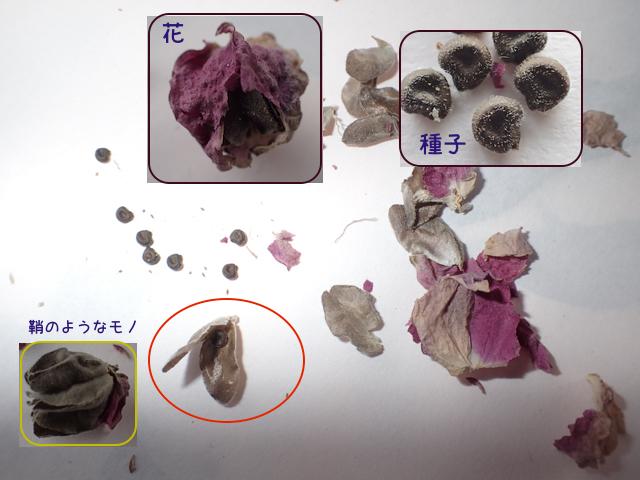 アブチロンの種子分解
