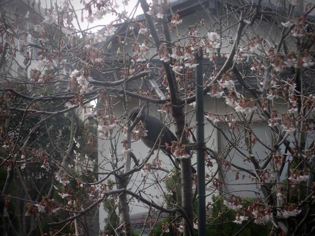 桜ヒヨドリ0316