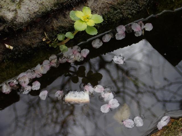 池 桜の花びら