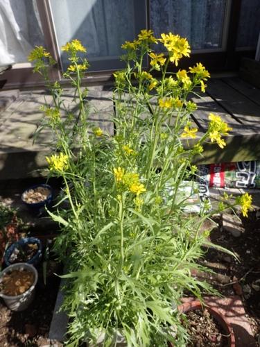 水菜の花20160402