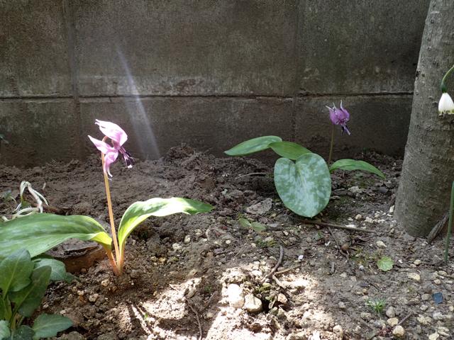 カタクリの花20160402