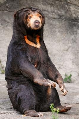 398px-Sitting_sun_bear.jpg