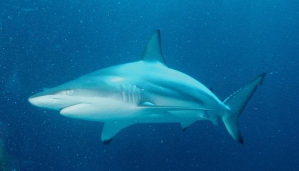 800px-Carcharhinus_limbatus_-_Caraibische_zwartpunthaai.jpg