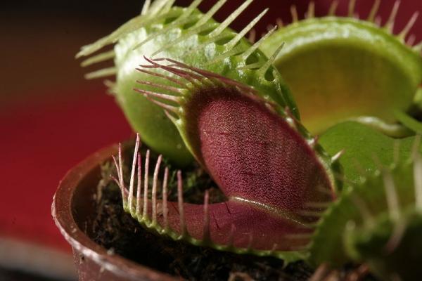 800px-Dionaea_muscipula_trap.jpg