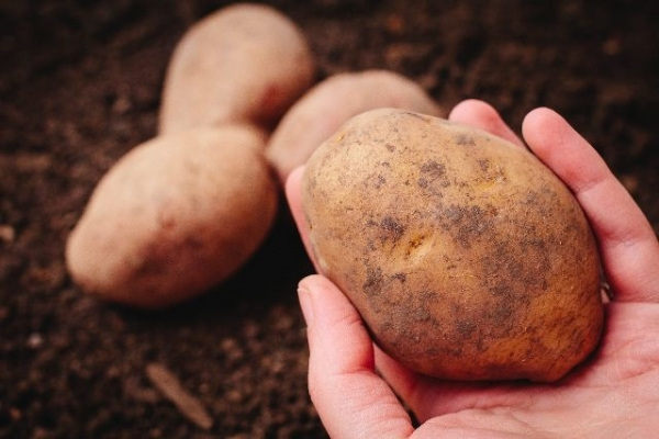 potato783787858965556.jpg