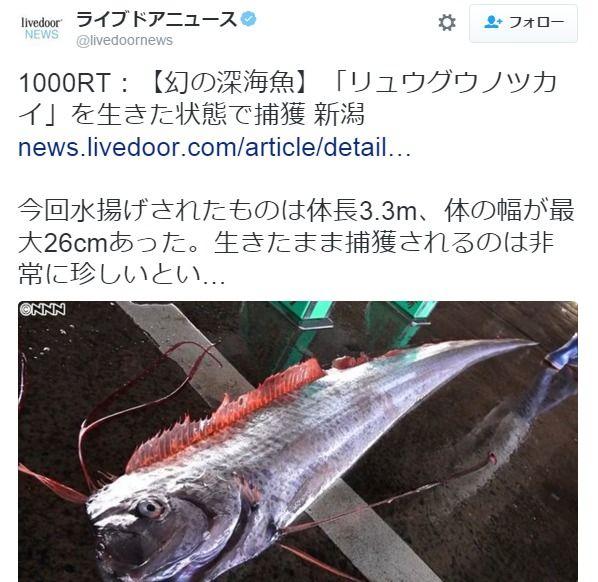 【日本海】新潟県佐渡沖で生きたままの深海魚リュウグウノツカイが定置網にかかる