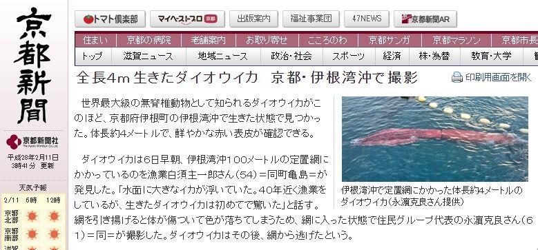 京都・伊根湾沖で「ダイオウイカ」が見つかる!「40年近く漁業をしているが、生きたのは初めて」