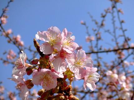 219桜4