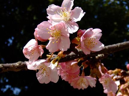 219桜0