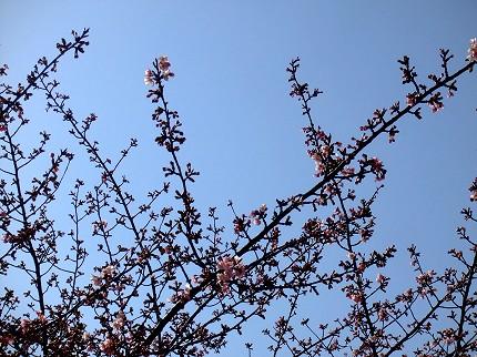 219桜2