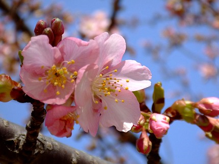 219桜6