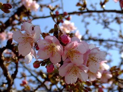 219桜7