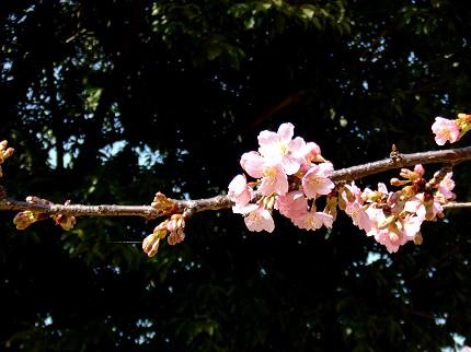 219桜8