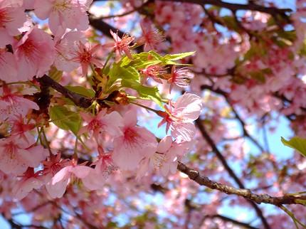 315桜2