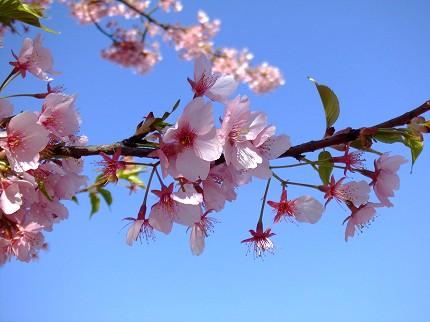 315桜3