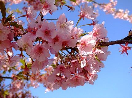 315桜1