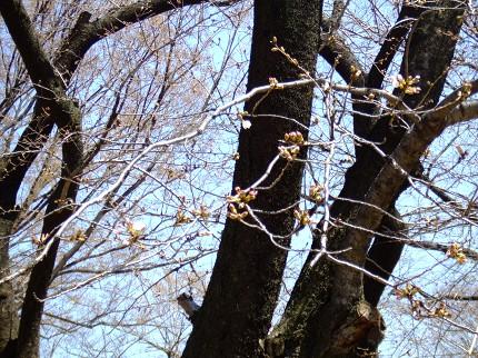 南浦和桜1