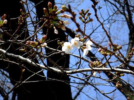 南浦和桜2