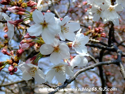 329桜5