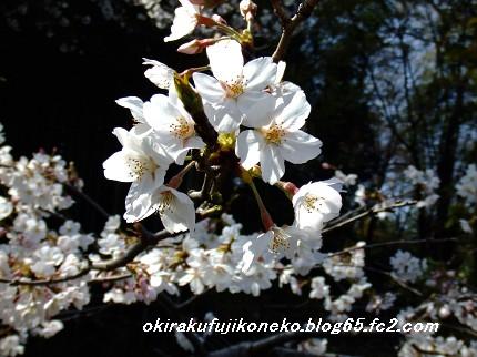 329桜4