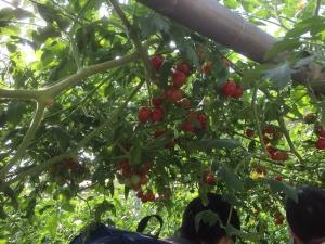 野菜収穫サイクリング17