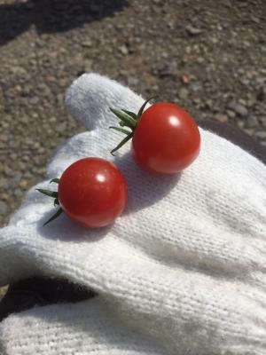 野菜収穫サイクリング19