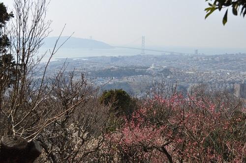 梅林と明石海峡大橋