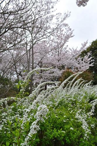 桜と雪柳2