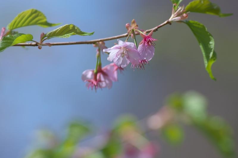 長居植物園 河津桜