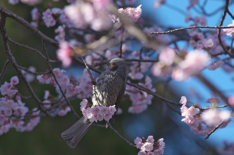 天理教教会本部 河津桜並木