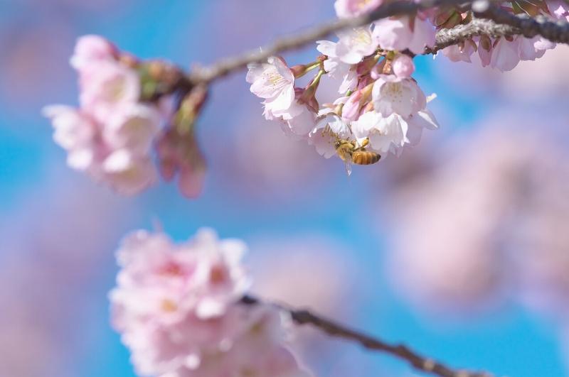 天理教教会本部 河津桜並木 ミツバチ