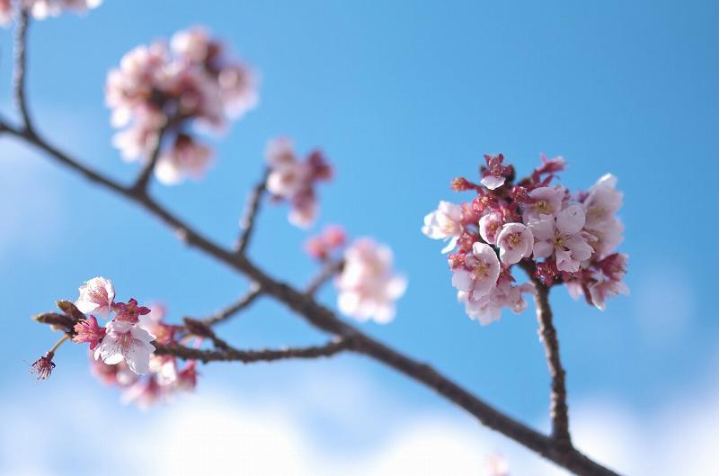 天理教教会本部の桜の開花 2016