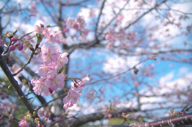 亀山サンシャインパーク 桜