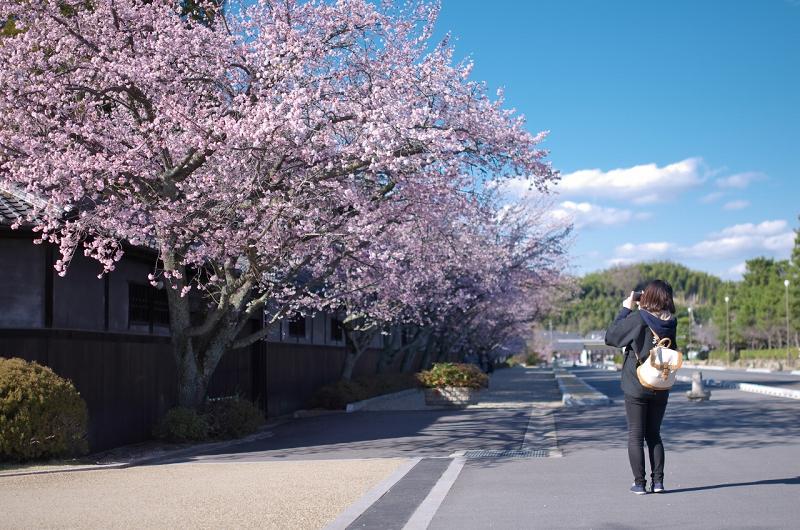 天理教教会本部 河津桜並木 メジロ