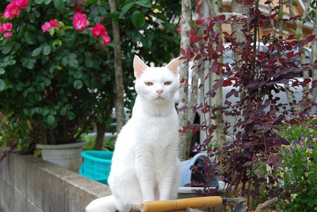 アタシのごたる白猫さん?
