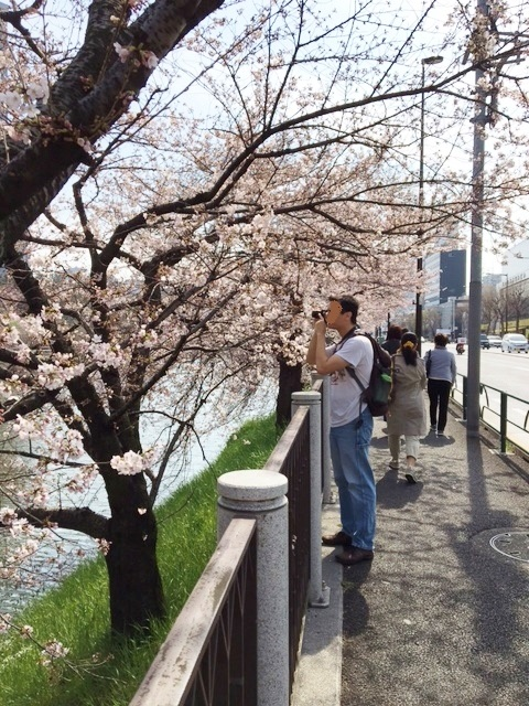神楽坂 桜