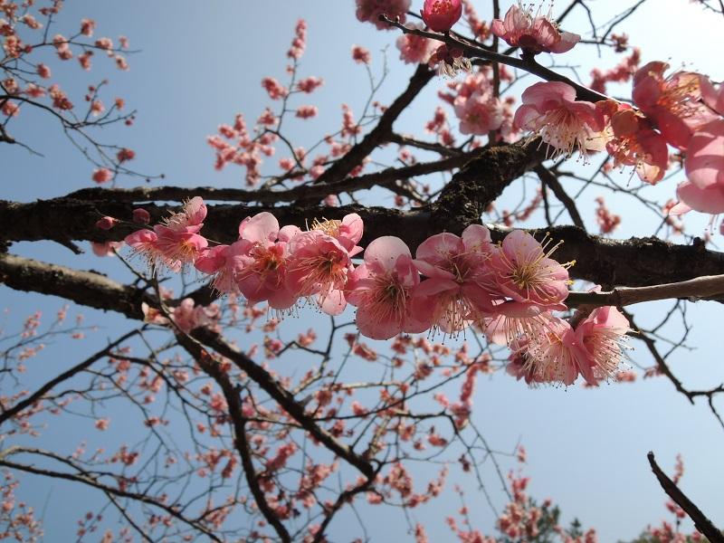 京都御苑 梅林 その4