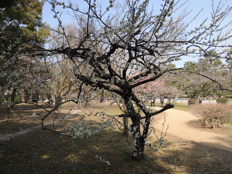 京都御苑 梅林 その6