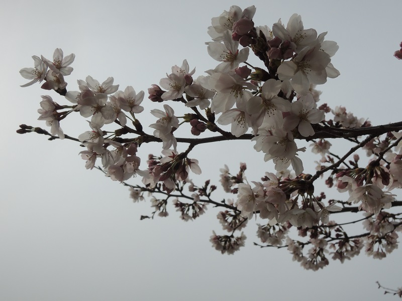 大津の桜 その2