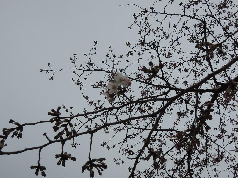 大津の桜 その3