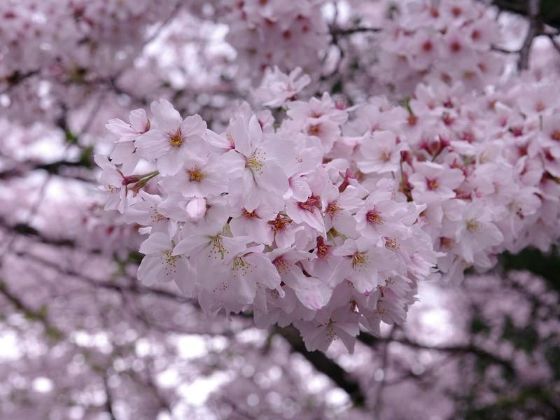 天孫神社 境内の桜 その2
