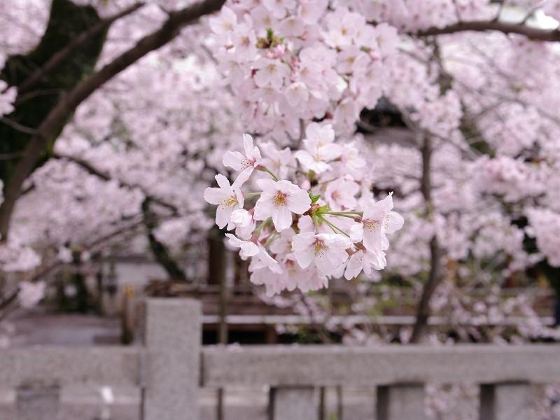 天孫神社 境内の桜 その1