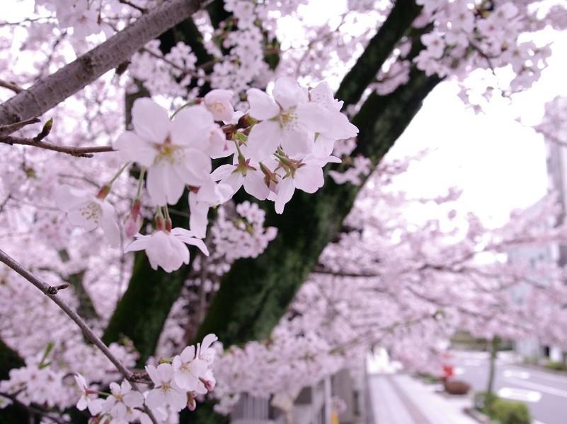 天孫神社 境内の桜 その3