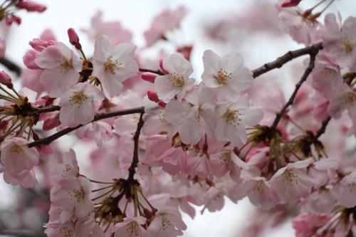 桜並木通り抜け