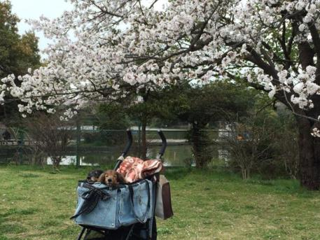 20160403桜の下のエンジェルとななの画像