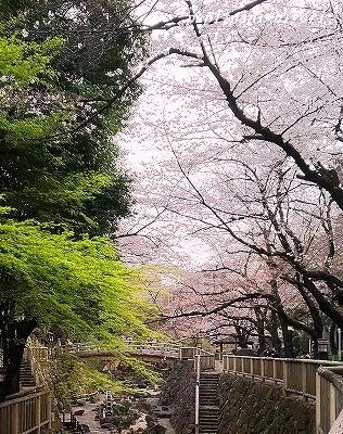 さくら@音無川公園