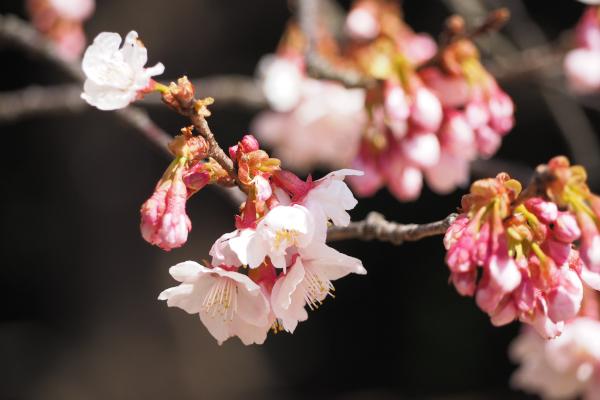 つかちゃん寒桜満開