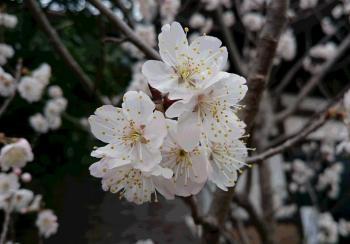 桜桃の花 350
