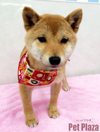 豆柴犬 トリミング 大阪府高槻市